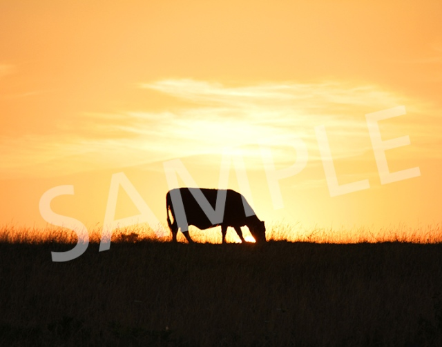 A cow silhouetted against a Kansas City sunset